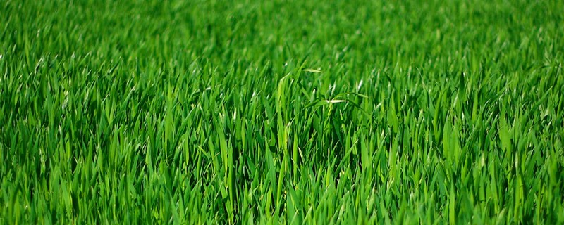 pelouse revitalisée