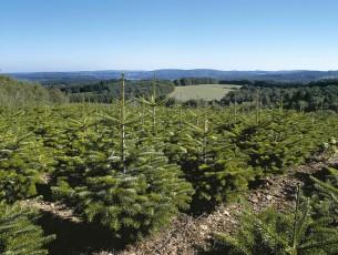 plantation de sapins Nordmann