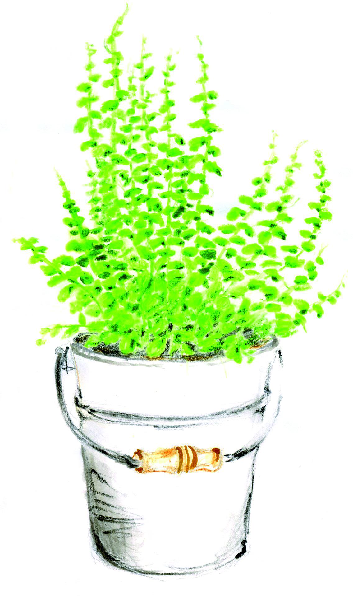 Menthe blog oleomac - Cultiver menthe en pot ...