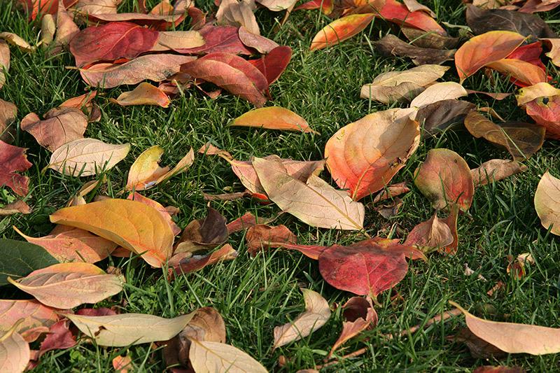 Feuilles mortes sur pelouse