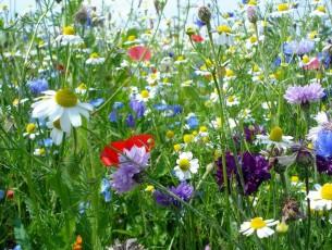 prairie fleurie d'engrais verts