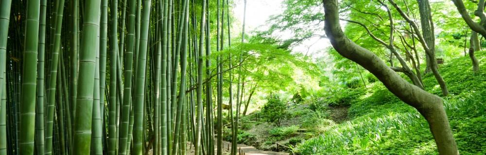 haie de bambou