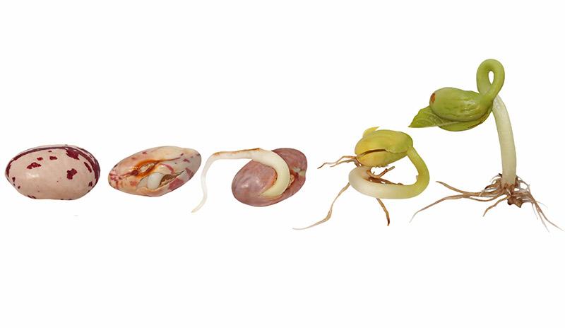 germination d'une graine