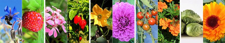 association des plantes au jardin