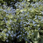 Brunnera Jack Frost @promesses de fleurs