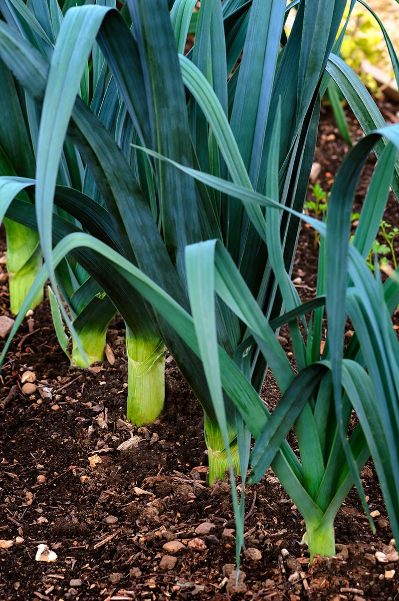 Plante A Planter En Septembre en septembre, on plante toujours des poireaux | blog oleomac