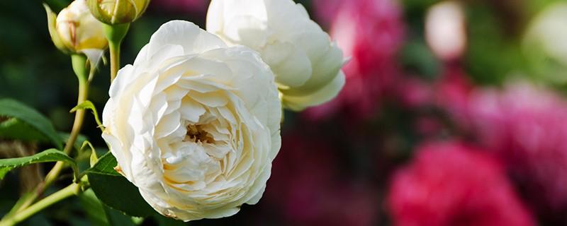 C 39 est le moment de planter les rosiers blog oleomac - A quel moment tailler les rosiers ...