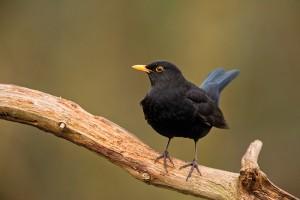 oiseau-merle-noir