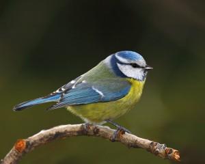 oiseau-mesange-bleue