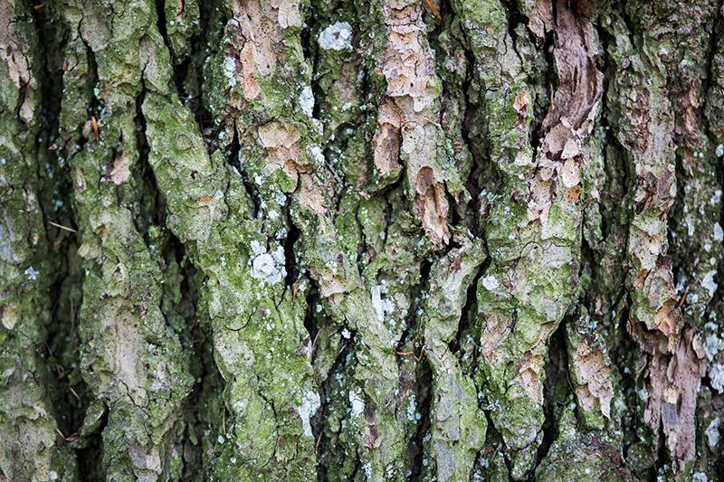 ecorce tronc arbre