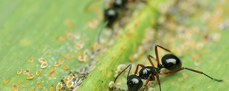 fourmi puceron feuille