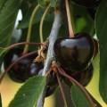 Cerise sur branche