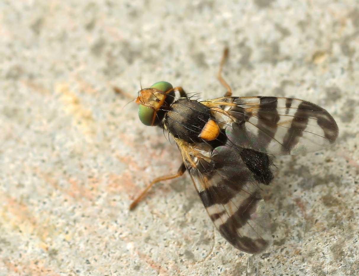 Lutter contre la mouche du cerisier  Blog Oleomac