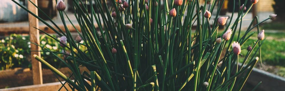 ciboulette fleur carre bac potager