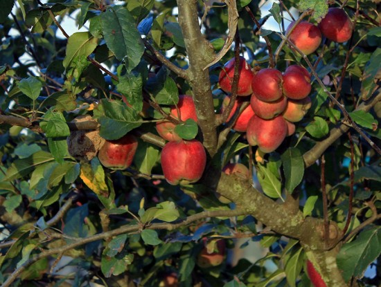 pomme rouge verger arbre