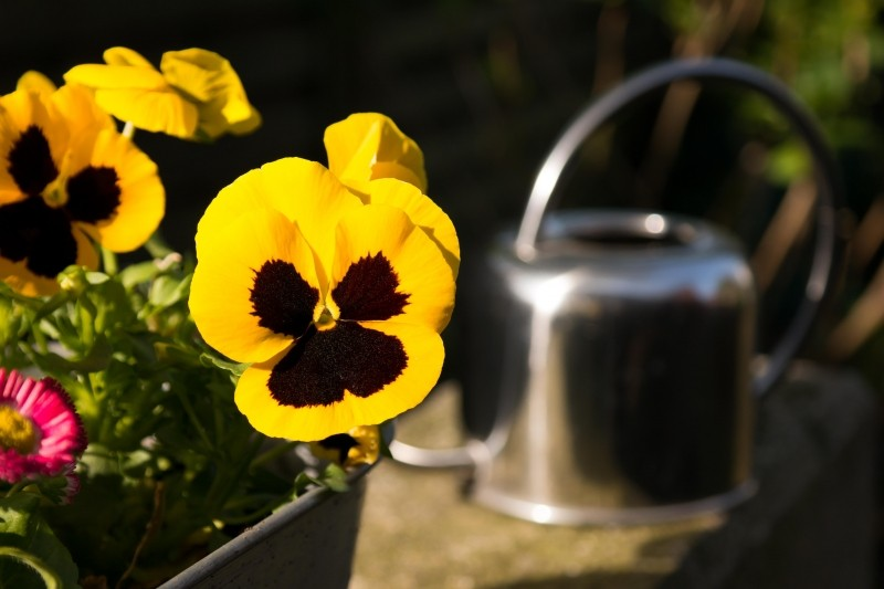 pensee jaune arrosoir Photo via VisualHunt