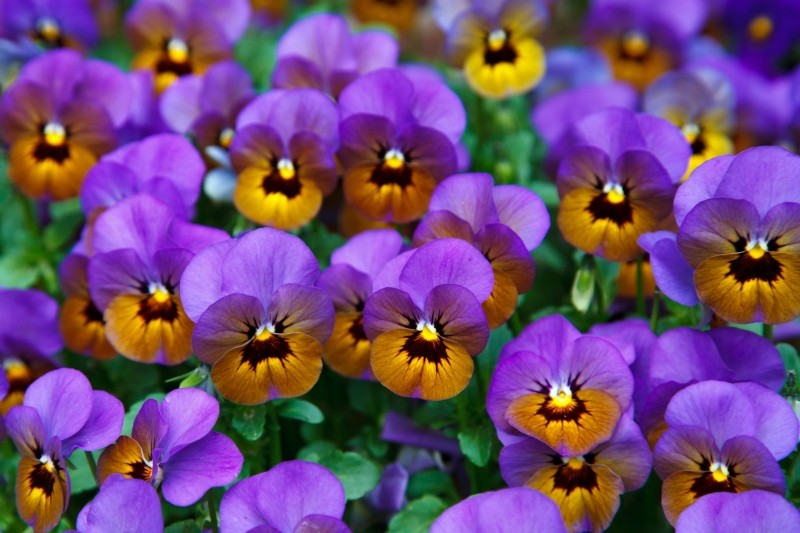 pensees violettes Photo via Visualhunt.com