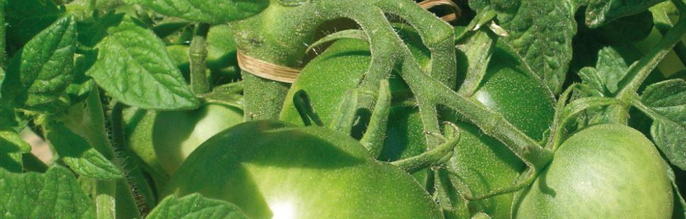 Que faire des derni res tomates vertes blog oleomac - Que faire avec des tomates du jardin ...