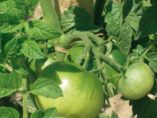tomate pas mure verte