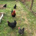 poule enclos poulailler jardin