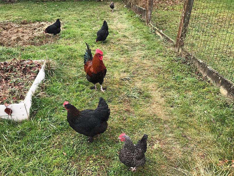 Poule enclos poulailler jardin blog oleomac - Enclos a poule ...