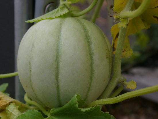melon carnet du jardinier Photo credit Hectate1 via Visualhunt :  CC BY-ND