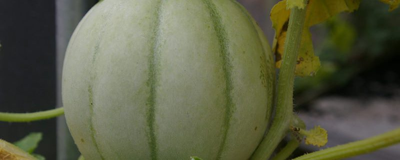 melon carnet du jardinier Photo credit Hectate1 via Visualhunt :  CC BY-ND