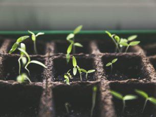 tomate jeune pousse
