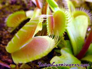 La dionée est une plante carnivore assez facile à cultiver et très répandue