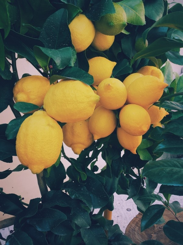 citron citronnier arbre fruit Photo via Visualhunt.com