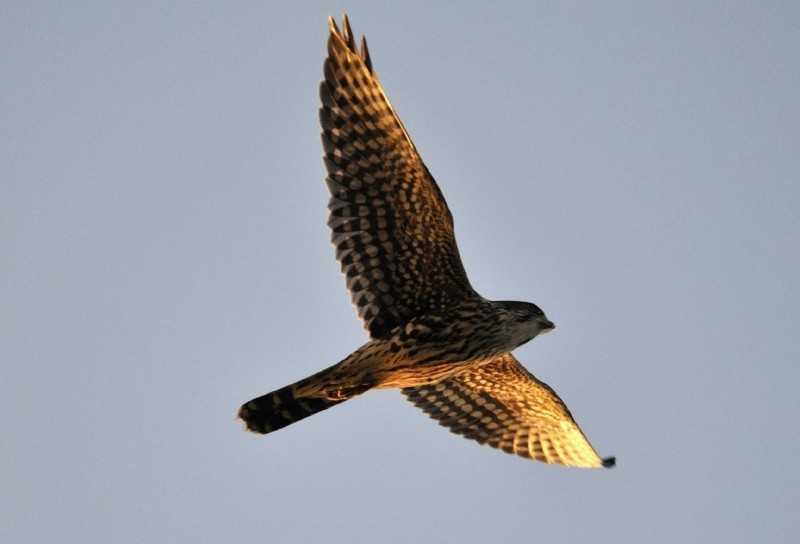 merlin-falcon-raptor-predator-flying-wildlife Photo via Visual hunt