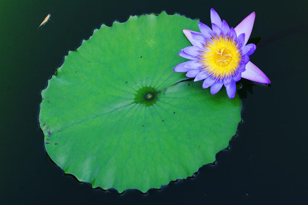 nenuphar violet Photo credit Rùa Hay Xỉn via Visualhunt.com CC BY-NC SA.jpg