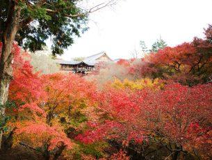 érable du Japon