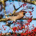 oiseau baies arbre Photo credit Tony Court Photography via Visual hunt CC BY-SA