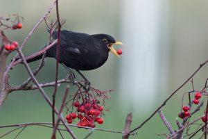 oiseau baies merle arbre Photo credit Artur Rydzewski via Visualhunt.con CC BY-NC