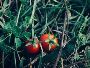 tomates sur herbe