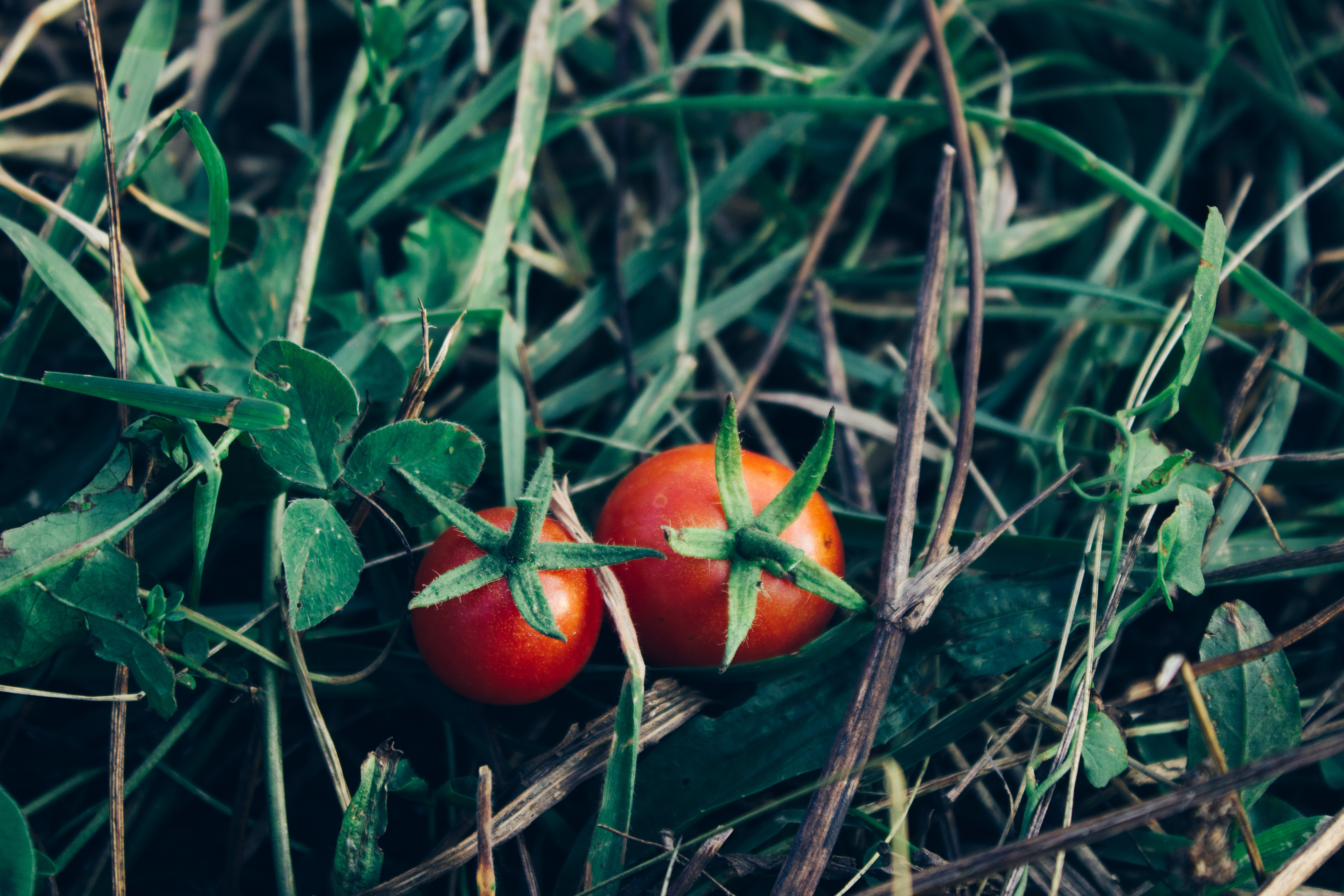 fabriquer protection tomates