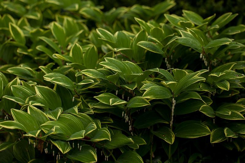 sceau de salomon feuilles Photo credit rachelgreenbelt via Visual Hunt CC BY-NC-SA