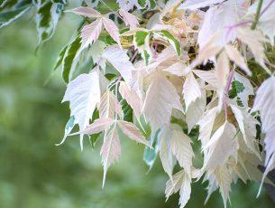 plante albinos