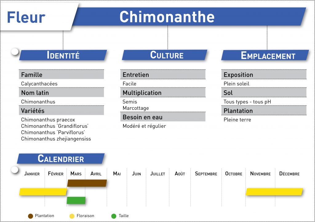 chimonanthe