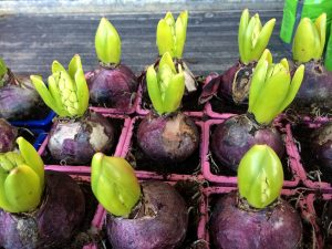 plante a bulbe jacinthe