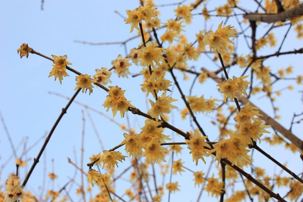 plum-blossom-89536_1280