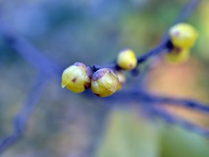 wintersweet chimonanthe