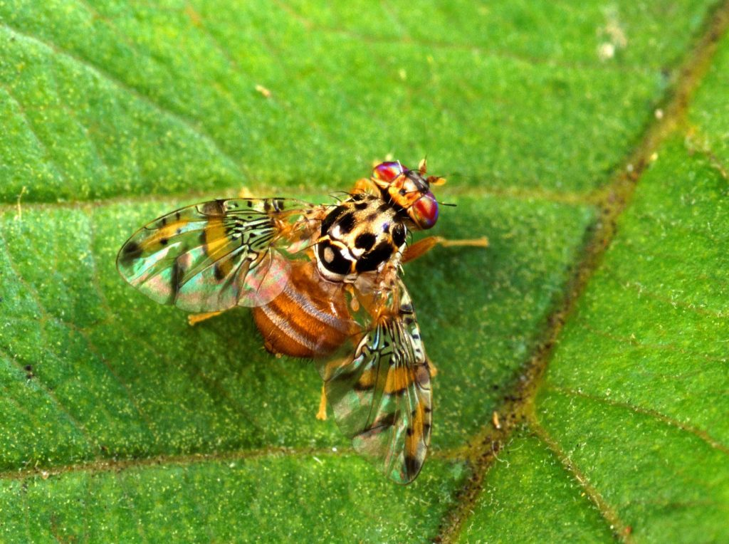 Medfly_insect