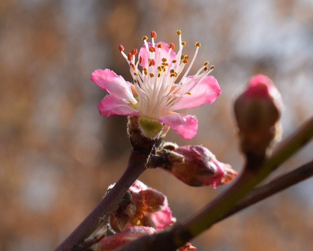 peach-blossom-2122542_1280