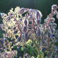 bourrache - fleurs du potager