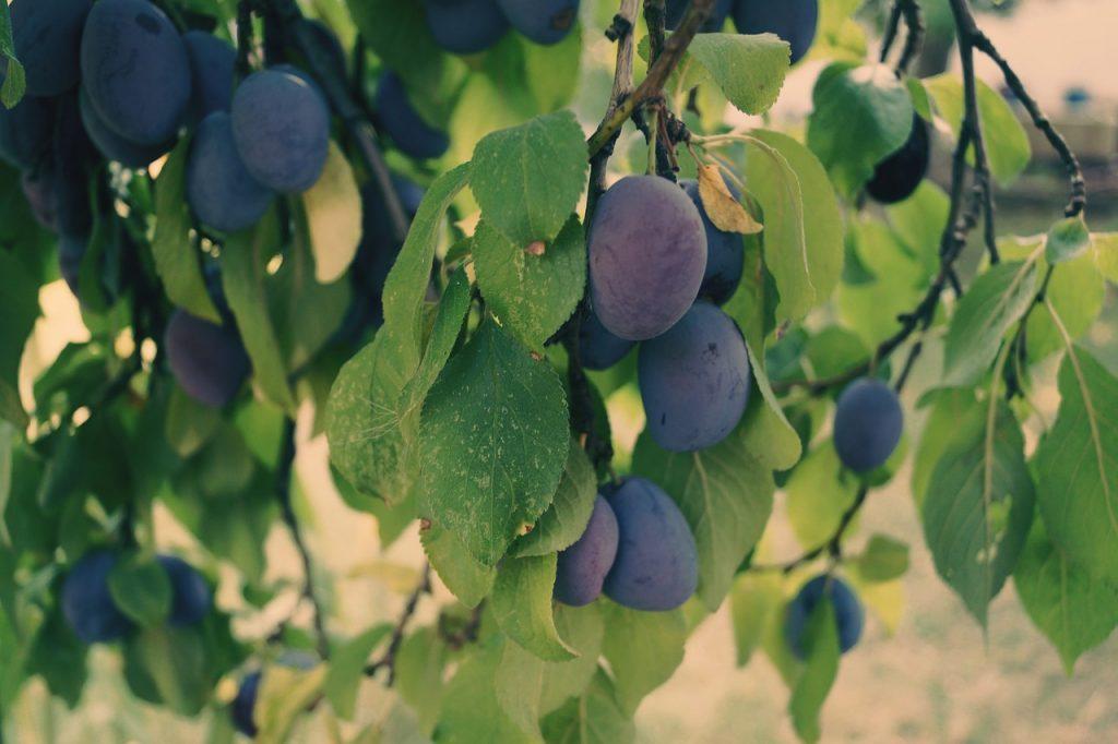 plums-1639180_1280