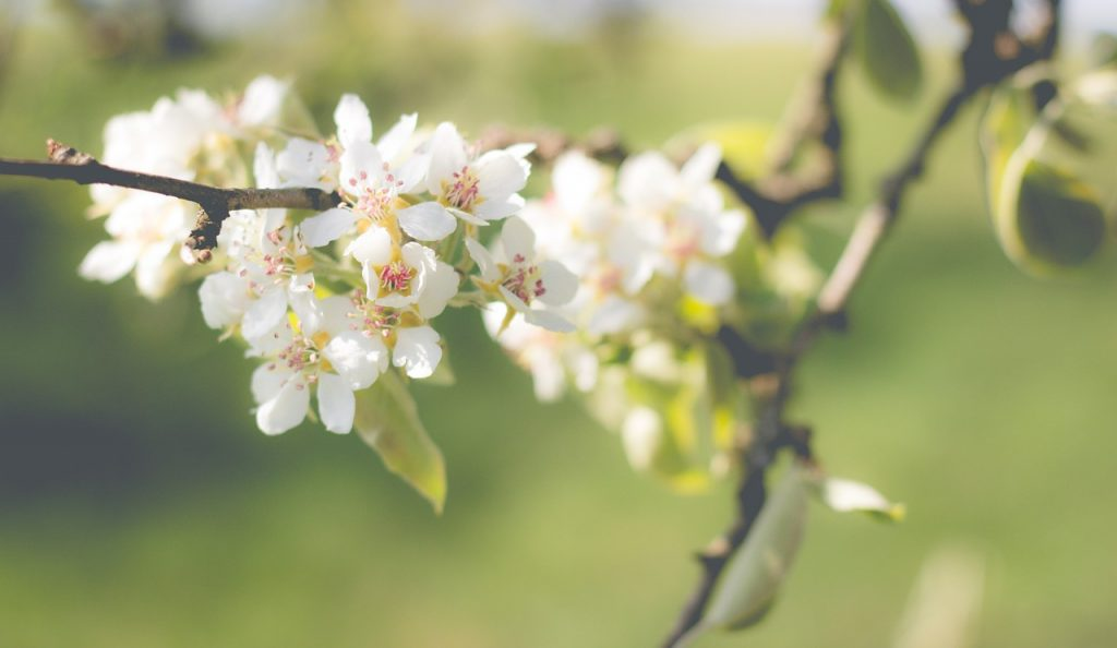 poires-pear-blossom-1548475_1280