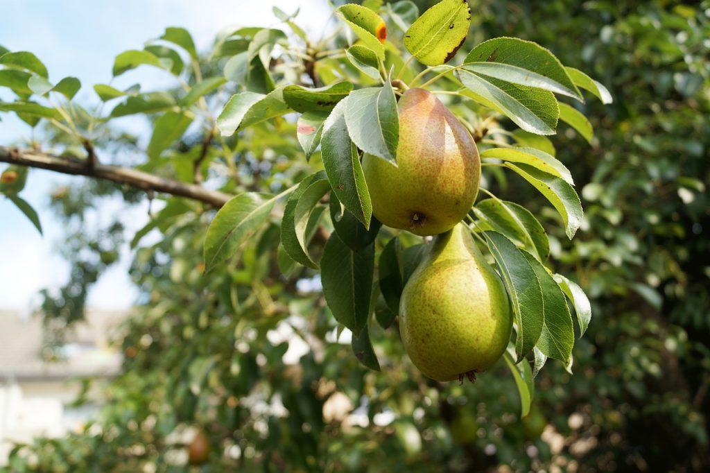 poires-pears-1639117_1280