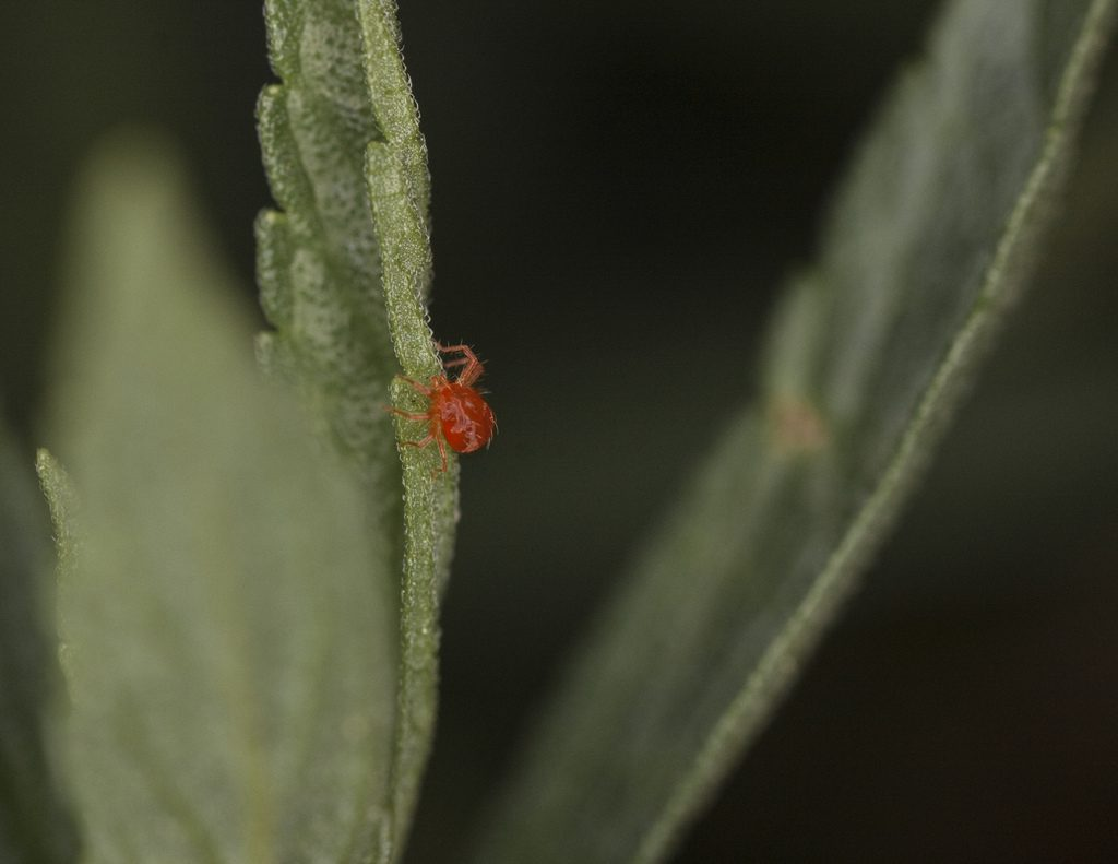 araignee rouge
